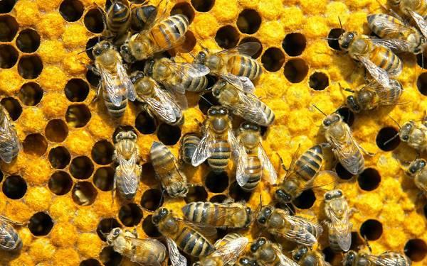 Подмор пчел: что это и где его взять